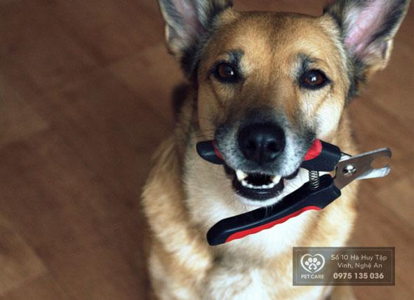 Việc cắt tỉa móng khá quan trọng đối với sức khỏe của các em chó