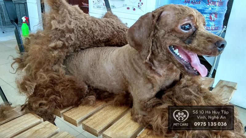 Cạo lông vào mùa nóng cho chó để chống bị sốc nhiệt