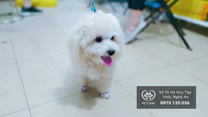 Những chú chó poodle có bộ lông rất đẹp và đặc biệt