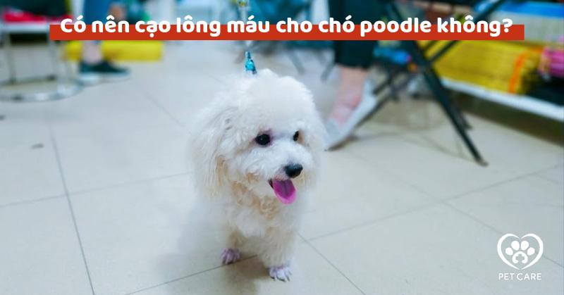 Có nên cạo lông máu cho chó poodle không?