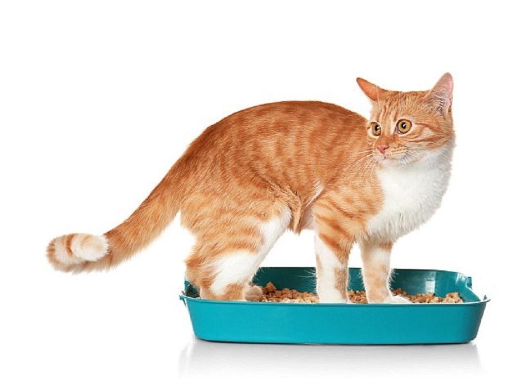 Tiêu chảy là bệnh thường gặp ở mèo