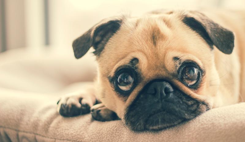 Cún cũng có những cảm xúc vui, buồn, thương nhớ như con người
