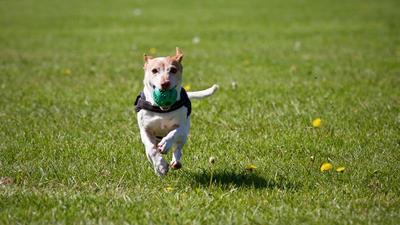 Nhờ khứu giác siêu phàm mà một số loài chó được đào tạo đặc biệt để trở thành chó nghiệp vụ cảnh sát