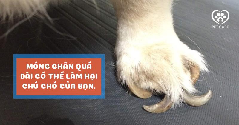Móng chân quá dài có thể làm hại chú chó của bạn.