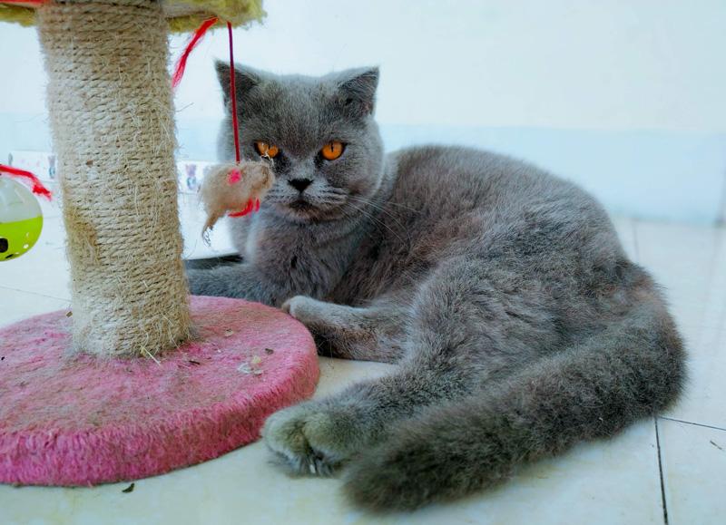 Mèo không cần quá nhiều không gian để sinh sống, chúng có thể vui chơi bất cứ chỗ nào trong nhà.