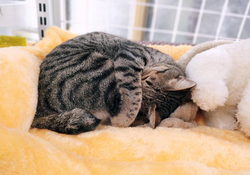 Mèo cưng của bạn sẽ không làm bạn bận tâm về sự ồn ào hay quậy phá vì đặc tính yên tĩnh của chúng.
