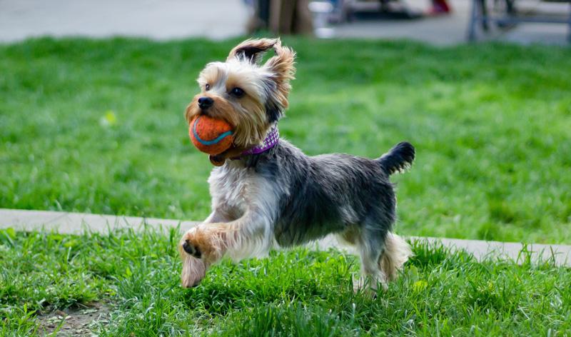 Cho chó chơi các đồ chơi chuyên dụng để răng miệng luôn thơm tho và chắc khỏe hơn