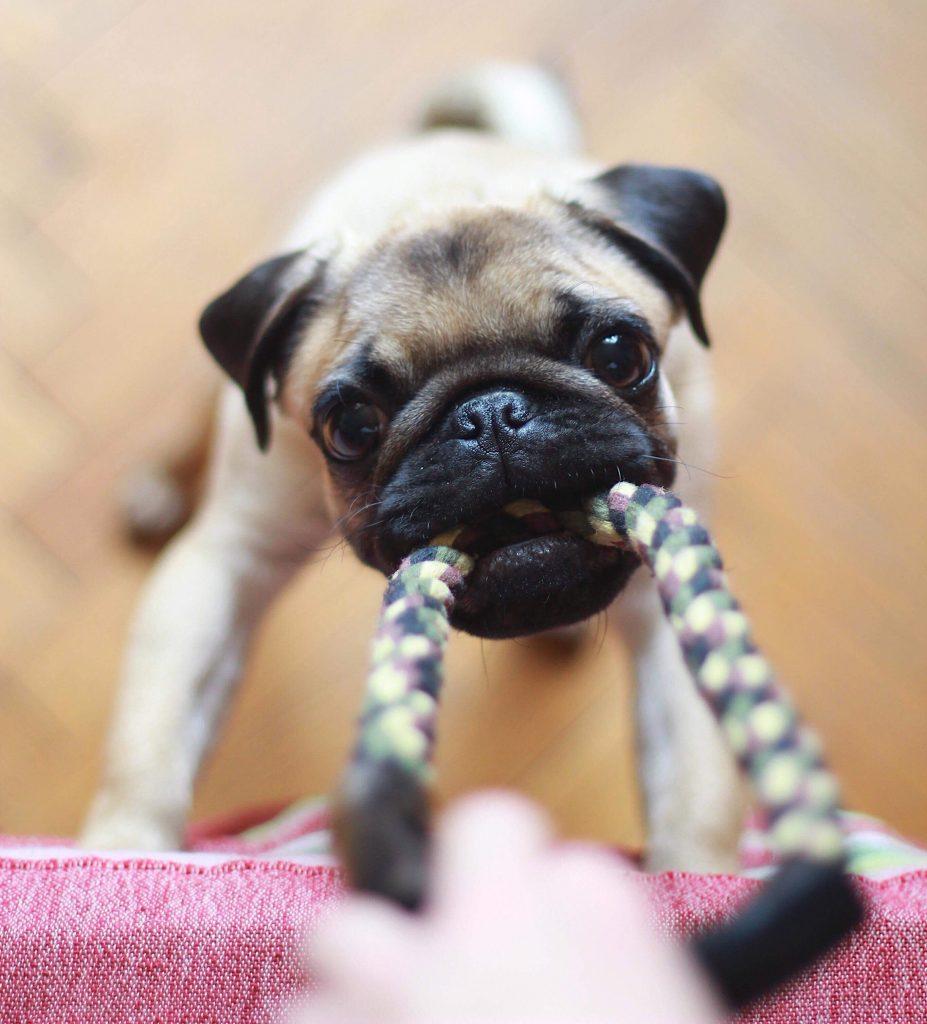 Các đồ chơi cắn găm có thể giúp cún sạch răng và răng chắc khỏe hơn.