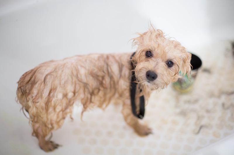 Tắm cho chó không đúng cách có thể khiến chúng khiếp sợ