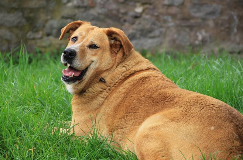 Chó béo phì có khả năng bị viêm khớp cao hơn