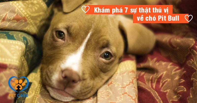 Khám phá 7 sự thật thú vị về Pit Bull