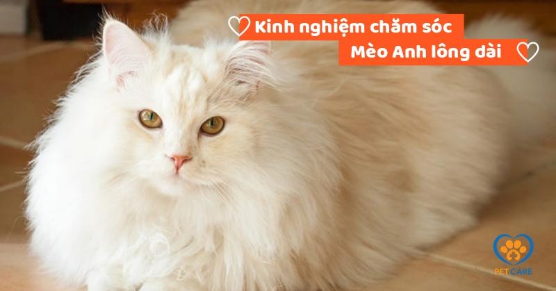 Kinh nghiệm chăm sóc Mèo Anh lông dài