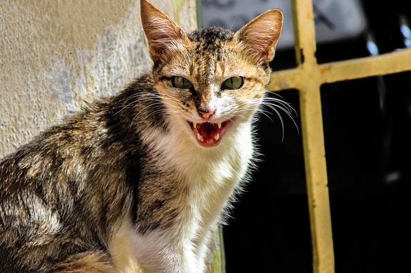 Bệnh dại ở mèo (Rabies)