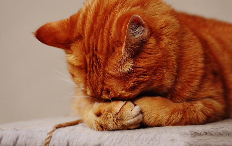5 bệnh nguy hiểm thường gặp ở mèo