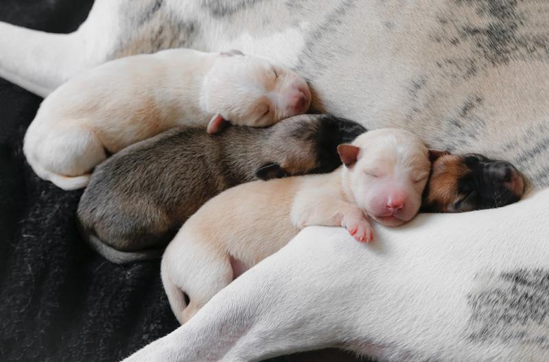 Tạo sự gắn kết cho mẹ và chó con trong từ 4 đến 5 ngày đầu tiên