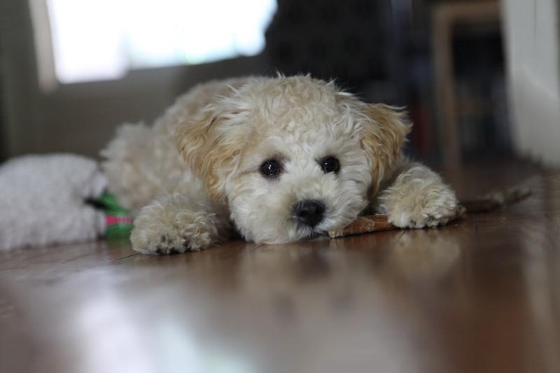 Chó Poodle không muốn ăn do có vấn đề về hệ tiêu hóa