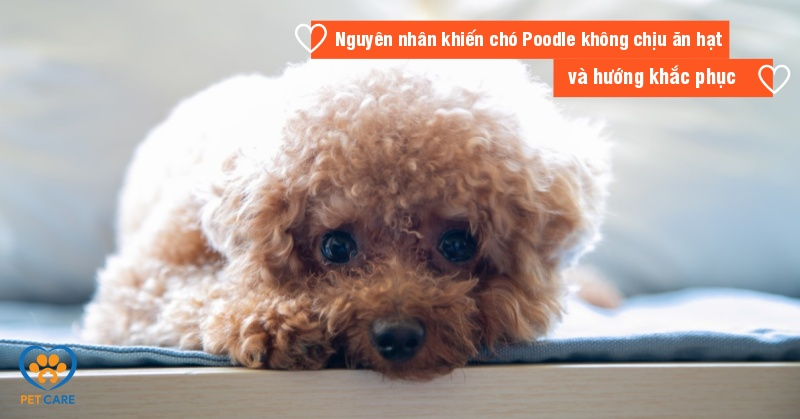 Nguyên nhân khiến chó Poodle không chịu ăn hạt và hướng khắc phục