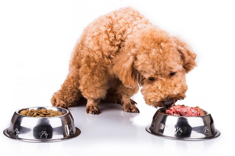Chó Poodle không muốn ăn thức ăn hạt