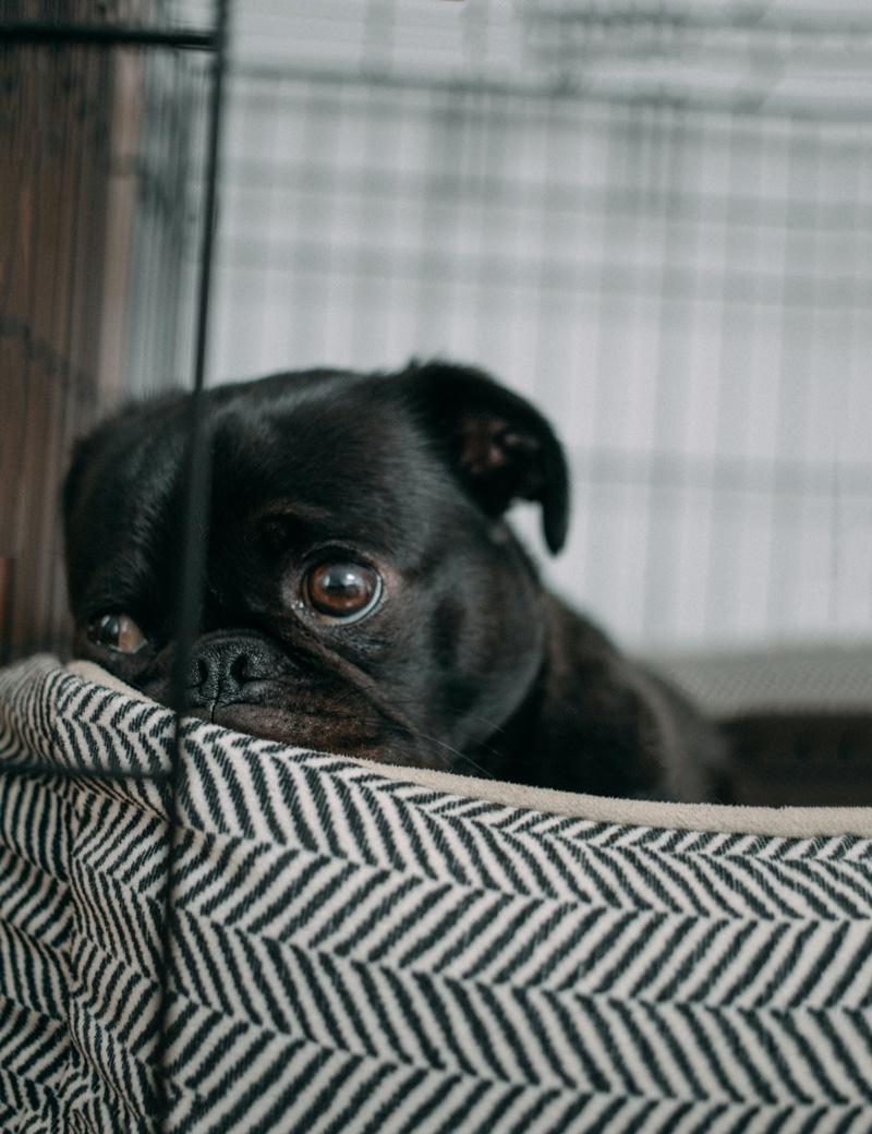 Khi bị chán nản, chó sẽ có những biểu hiện như thế nào?