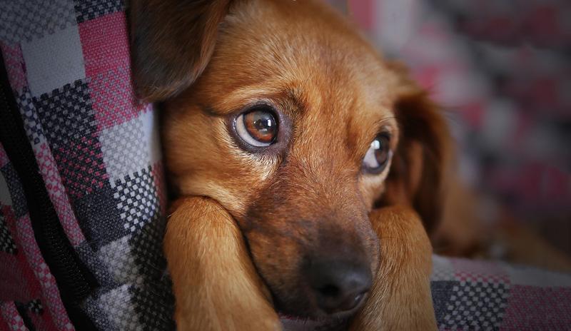 Nguyên nhân làm cho chó bị chán nản?