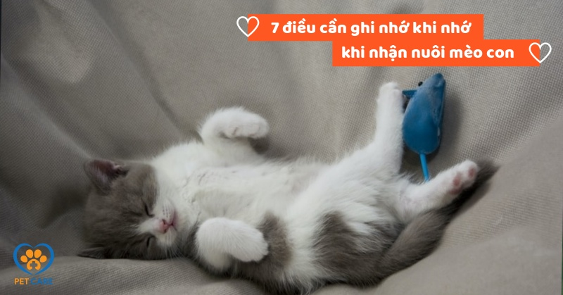 7 điều cần ghi nhớ khi nhớ khi nhận nuôi mèo con
