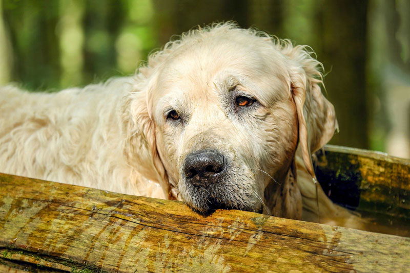 Chứng mất trí nhớ ở chó: Nguyên nhân, triệu chứng và cách điều trị