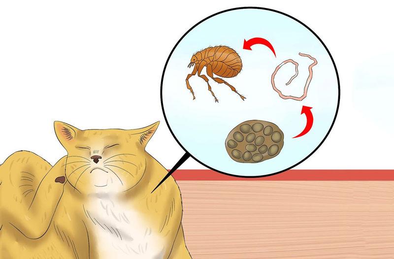 Quá trình lây nhiếm sán dây của mèo