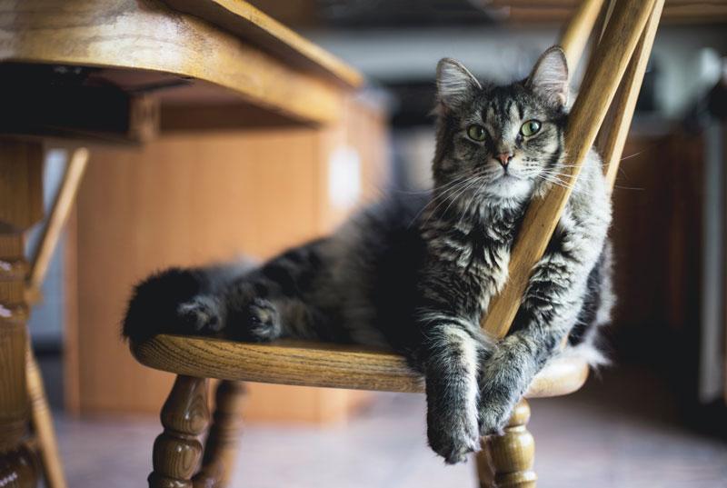 Nguyên nhân trị bệnh rận mèo