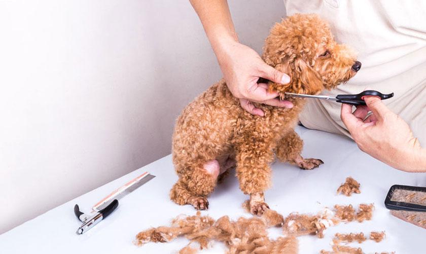 Tại sao nên cắt tỉa lông cho cún cưng trong mùa hè