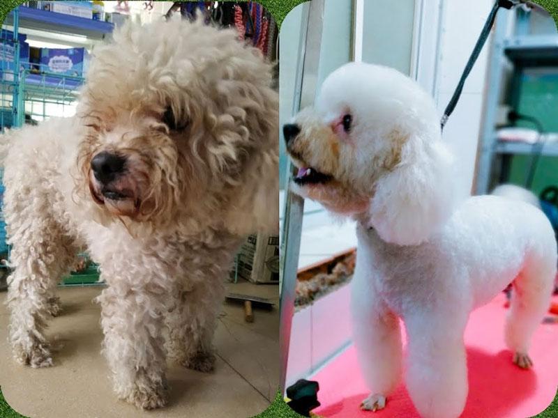 Poodle lột xác sau khi spa và cắt tỉa lông tại PetCare